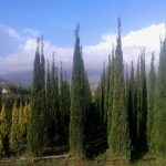 Cupressus sempervirens 'Matteini': when beauty and health go together!