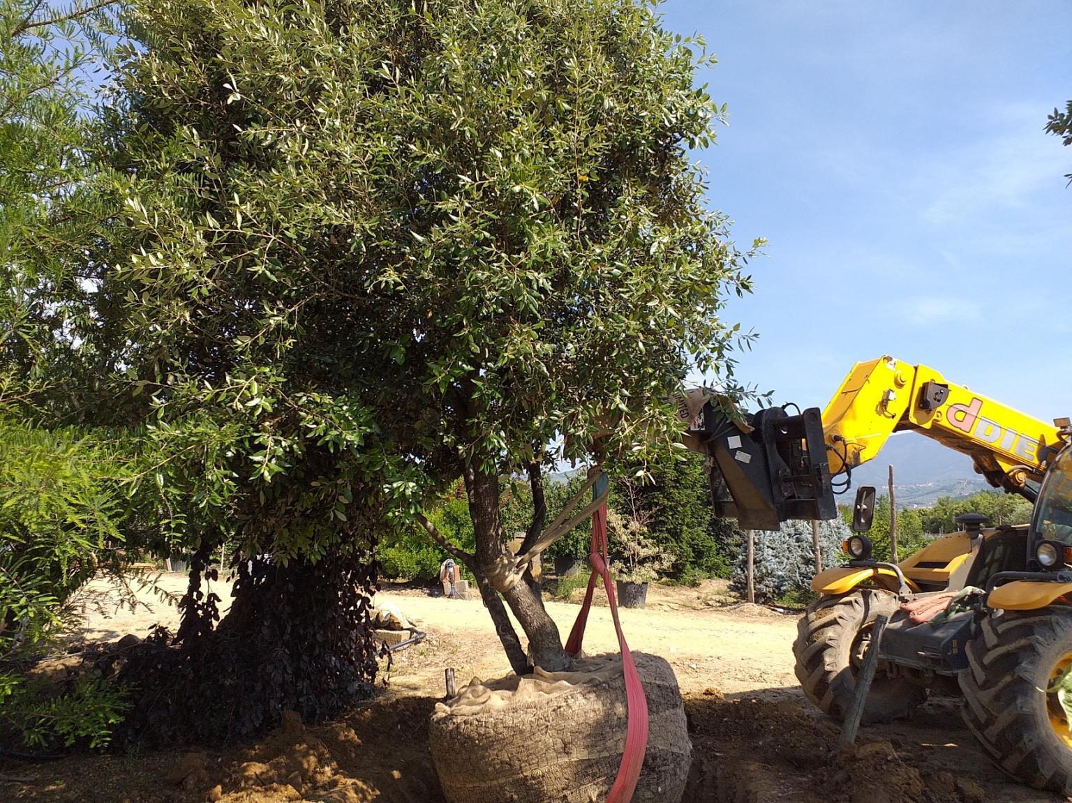 Quercus Ilex multistem